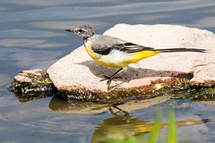 IMG_7803.jpg (TonyJ 3006) Tags: birds greywagtail places slimbridge