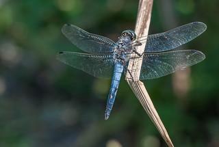 Blaue Libelle beim Sonnenbad.