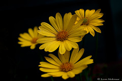 Flowers (leendert3) Tags: leonmolenaar southafrica wildlife nature flowers ngc npc