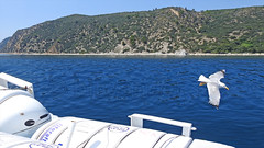 Greece, Macedonia, Aegean Sea, seagull while cruising around Mount Athos peninsula (Macedonia Travel & News) Tags: greecemacedonia agiooros cruise chalkidiki aegeansea macedoniatravel greece makedonia macedoniatimeless macedonian macédoine mazedonien μακεδονια ancient greek culture vergina sun blog star thessaloniki hellenic republic prilep tetovo bitola kumanovo veles gostivar strumica stip struga negotino kavadarsi gevgelija skopje debar matka ohrid mavrovo heraclea lyncestis history alexander great philip macedon nato eu fifa uefa un fiba macedonianstar verginasun macedoniapeople macedonians peopleofmacedonia macedonianpeople macedoniablog macedoniagreece timeless македонија macedonianews macedoniapress македонијамакедонскимакедонци tourisminmacedonia