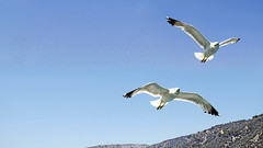 Greece, Macedonia, Aegean Sea, seagulls while cruising around Mount Athos peninsula (Macedonia Travel & News) Tags: greecemacedonia agiooros cruise chalkidiki aegeansea macedoniatravel greece makedonia macedoniatimeless macedonian macédoine mazedonien μακεδονια ancient greek culture vergina sun blog star thessaloniki hellenic republic prilep tetovo bitola kumanovo veles gostivar strumica stip struga negotino kavadarsi gevgelija skopje debar matka ohrid mavrovo heraclea lyncestis history alexander great philip macedon nato eu fifa uefa un fiba macedonianstar verginasun macedoniapeople macedonians peopleofmacedonia macedonianpeople macedoniablog macedoniagreece timeless македонија macedonianews macedoniapress македонијамакедонскимакедонци tourisminmacedonia