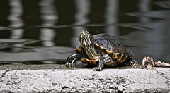 ALWAYS ALERT, SNAPING TURTLE, ACA PHOTO (alexanderrmarkovic) Tags: turtle acaphoto