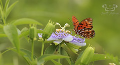 Gulf Fritillary (Nature Photos by Scott) Tags: butterfly wildlife florida nature canon scotthelfrich scotthelfrichphotograpgt naturesart art canvas fineart