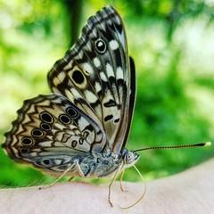 Butterfly (Pamz Pics) Tags: bugs butterfly bug butterflies summer august spots