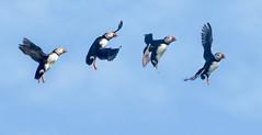 Puffin flying postures (Donald L.) Tags: flight flyingpostures canada quebec parrotisland fraterculaarctica atlanticpuffin