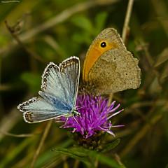 Chalkhill Blue and friend (ianbartlett) Tags: outdoor macro landscape wildlife nature birds butterflies dragonflies cattle flight flowers colour light shadows clouds