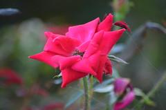 2018-08-04 (30) red rose at Laurel Park - yp (JLeeFleenor) Tags: photos photography md maryland marylandracing marylandhorseracing laurelpark flowers flora rose red outside outdoors