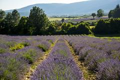 Lavender Fields, Sault, Provence, France (Steve Weaver) Tags: provence france sault lavender fields landscape scenery view nature beauty summer alps cotedazur colours purple