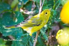 IMG_6846 (nitinpatel2) Tags: bird nature nitinpatel