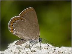 Moradilla del fresno. (josemph) Tags: olympus e3 sigma 105mm zuico ec14 macro insectos marposas lepidópteros licénidos moradilladelfresno laeosopisroboris butterfly spanishpurplehairstreak