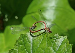 IMG_0382 (Sybalan,) Tags: insects outdoor flowers benmoregardens fern plants pond damselfly hoverfly bee dunoon argyllandbute