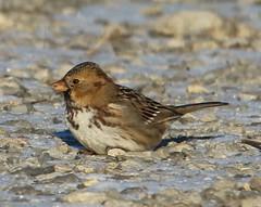 Harris's Sparrow (Zonotrichia querula) 01-01-2017 Anacostia River Trail, Prince George's Co. MD 1 (Birder20714) Tags: birds maryland sparrows emberizidae zonotrichia querula