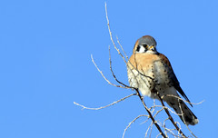 American Kestrel (AmyEHunt) Tags: americankestrel kestrel wild wildlife bird animal nature tree sky blue perch colorado raptor