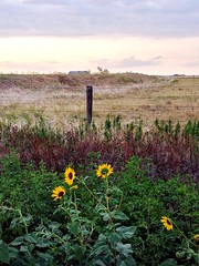 2018-07-30_10-36-56 (lillypotpie) Tags: sunflowers oklahoma west backroads rural foliage fence hills barn prairie countryside land openskys clouds grass weeds colors