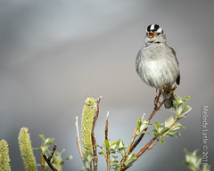 White-crowned Sparrow (karenmelody) Tags: alaska animal animals bird birds passereliidae passeriformes usa vertebrate vertebrates whitecrownedsparrow zonotrichialeucophrys nearnome passerine passerines perchingbirds