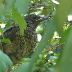 Vögelchen sag mal piep-little bird say beep (Anke knipst) Tags: vogel blackbird bird amsel tier animal
