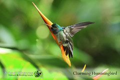 Charming hummingbird (manakusCR) Tags: charminghummingbird amaziliadecora amazilia endemic hummingbird costarica