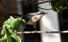 Mockingbird (jhndefreitas) Tags: jamaica jamaicanbirds carribbean carribbeanbirds carribbeanwildlife wildlife naturephotography nature carribbeannature