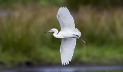 Little Egret (Paul..A) Tags: littleegret little egret wadingbird waterbird birdinflight scotland