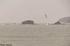 Entre las islas-05078 (danicastro.fotografo) Tags: puentedeume galicia españa tormenta gaviotas ber