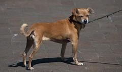 Double Eye Blink (Scott 97006) Tags: dog canine animal cute eyes blink shut leash posture