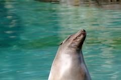 DSC_8867 (largopolacsek) Tags: seal zoo animal nikon1j5 nikkor nikkor30110mm nikon1 nikon europe berlin