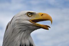 Bald Eagle (mikestreicher) Tags: baldeagle eagle