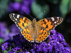 Painted Lady (2) (Maria-H) Tags: stockportdistrict england unitedkingdom gb paintedlady vanessacardui butterfly lymepark garden disley cheshire uk olympus omdem1markii panasonic 100400
