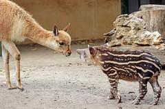 South american tapir and Vicuna Artis JN6A0851 (j.a.kok) Tags: vicuna tapir zuidamerika zuidamerikaansetapir southamerica southamericantapir animal artis zoogdier dier mammal baby babytapir