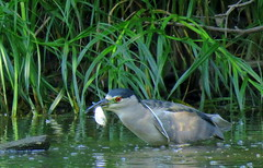 Black-crowned Night Heron with lunch (Lois McNaught) Tags: blackcrownednightheron bird avian waterfowl nature wildlife hamilton ontario canada