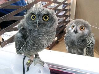 Western screech owl and snowy owl