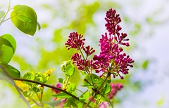 Sunday in the park (vinnie saxon) Tags: leaves pink green nikon nikoniste bokeh colors spring flowers nature