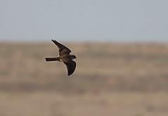 amke-f-froad-3-18-17-tl-1-cropscreen (pomarinejaeger) Tags: campo colorado unitedstates americankestrel falcosparverius bird