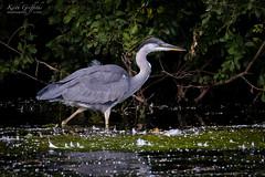 Grey Heron (Photography - KG's) Tags: rspb wildlife reserve bird birds animals nature brandonmarsh greyheron