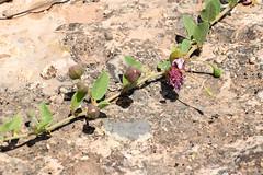 DSC_1995-881 (kytetiger) Tags: parque natural sierra de baza câpre caper andalousie andalousia