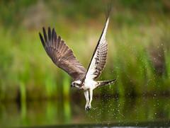 Osprey  23-06-2018 (seandarcy2) Tags: birds prey osprey raptors handheld wildlife highland scotland uk