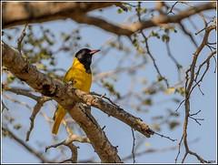 Black-headed-Oriole__AM07616 (SueM59) Tags: birds blackheadedoriole knp may2018