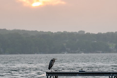 Sunshower Heron (jpetcoff) Tags: heron blue water rain storm summer warm wet lake canandaigua bird fowl