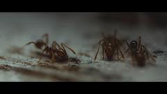 Workers (Samuel Portilla) Tags: ants ant hormiga hormigas insecto insect insectos macro macrofotografía macrophotography reversed lens 1855mm canon cinematography cinematografía cinematic cinematico 2351