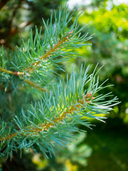Pine needles (Raoul Pop) Tags: trees conifer pine needles branch