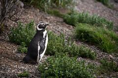 Magellanic penguin, Ushuaia, Argentina (pas le matin) Tags: penguin manchot magellanicpenguin manchotdemagellan tierradelfuego terredefeu travel voyage world animal bird oiseau patagonia patagonie argentine argentina southeamerica canon 5d canon5d canon5dmkiii canoneos5dmkiii eos5dmkiii 5dmkiii