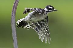 Downy woodpecker (Bob Gilley) Tags: downy woodpecker chesapeakecity maryland