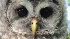 Barred Owlett (shesnuckinfuts) Tags: barredowl strixvaria kentwa lakefenwick shesnuckinfuts june2017 nature wildlife owl bird birdofprey