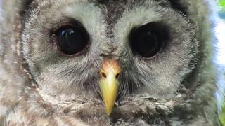 Barred Owlett