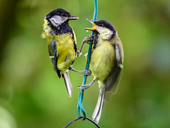 Feed Me (Mel Low) Tags: greattit bird wildlife britishwildlife northcove suffolk suffolkwildlifetrust nikon