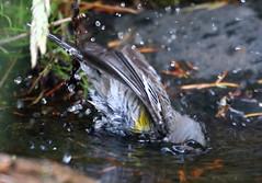 Semi-Submersible -- Yellow-rumped Warbler (Dendroica coronata);  Santa Fe National Forest, NM, Thompson Ridge [Lou Feltz] (deserttoad) Tags: wildlife nature newmexico mountain desert bird wildbird warbler