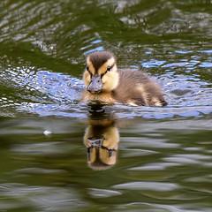 Duckling Silverdale RSPB F00314 D210bob DSC_1714 (D210bob) Tags: duckling silverdale rspb f00314 d210bob dsc1714 nikond7200 birdphotography birdphotos leightonmoss naturephotography naturephotos nikon nikon200500f56 wildlifephotography lancashire