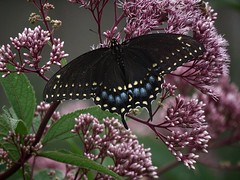 Afternoon delight (Laura Rowan) Tags: swallowtail overcast joepyeweed blackswallowtail ourgarden ouryard butterfly bloom flower flora