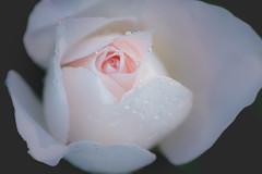 rose perle (christophe.laigle) Tags: rose drops christophelaigle fleur macro pluie blanc nature flower fuji parcdelaroseraie nantes gouttes xpro2 xf60mm white