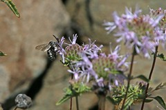 IMG_4522 (edward_rooks) Tags: sierraazulopenspacepreserve bald mountain mount umunhum insects wildflowers butterflies bees wasps assassin bug